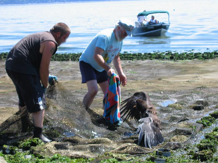 Juvenile Bald Eagle caught in geoduck farm net on Hartstene Island off of Dana Passage.