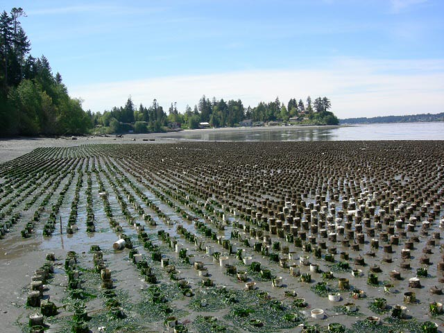 Geoduck farm in Zangle Cove 2006